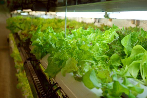 hydro, grow tent, indoor grow